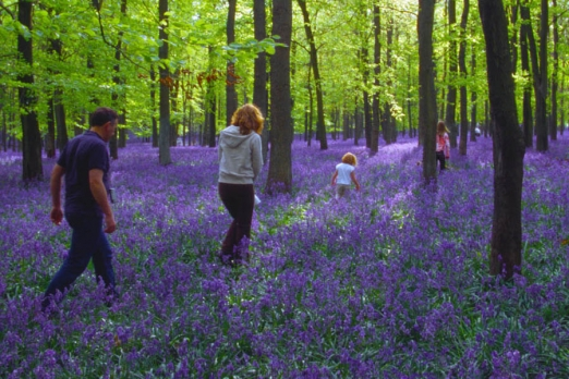 Walking in Bluebell woods.